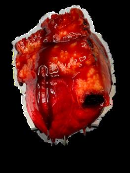 Life Size Human Heart