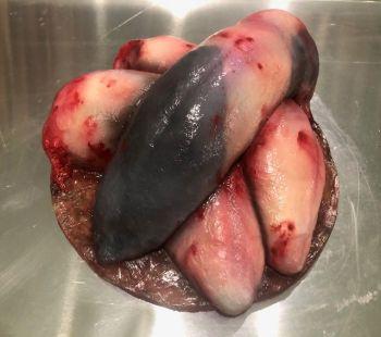 Animal Prop Beef Tongue