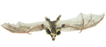 Bat With Skull Head Sml Brown