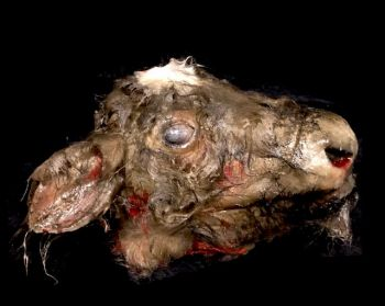 Animal Prop Calf Head Rotted